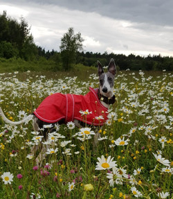 Pointy Faces Whippet Raincoat Red