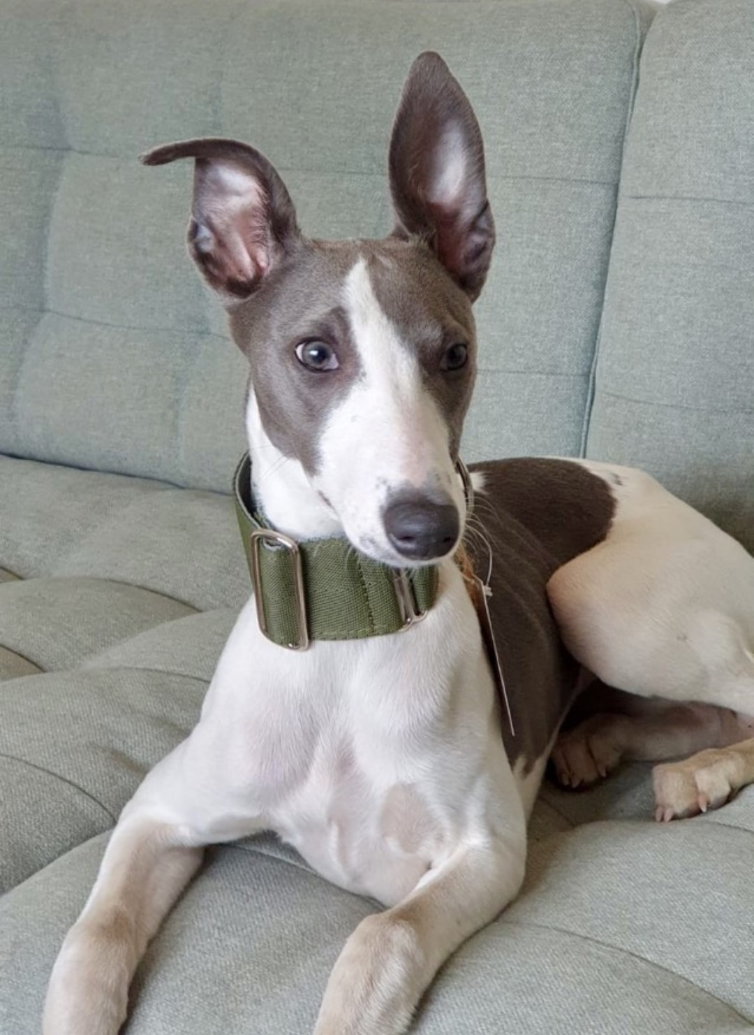 Pointy Faces Whippet Collar UK