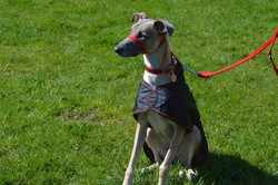 Pointy Faces Lurcher Raincoat