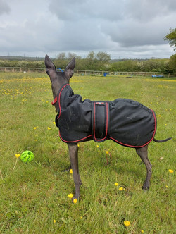 Italian Greyhound Coat in Black
