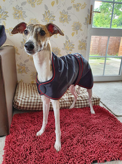 Pointy Faces Whippet Raincoat Black UK