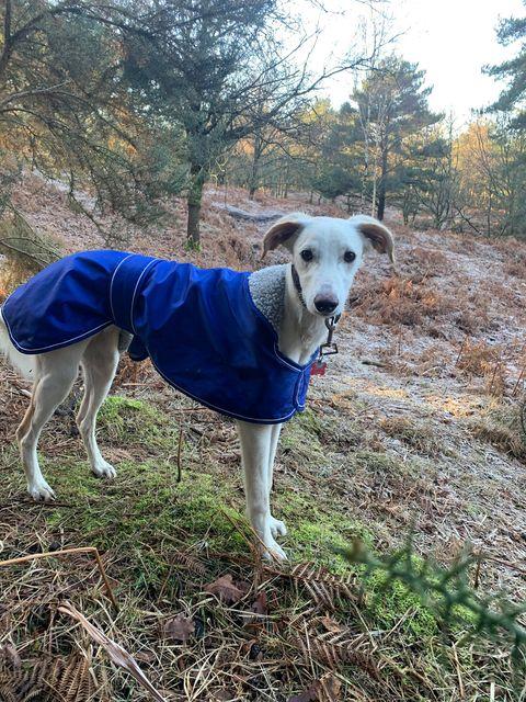Lurcher and Greyhound Coat Blue