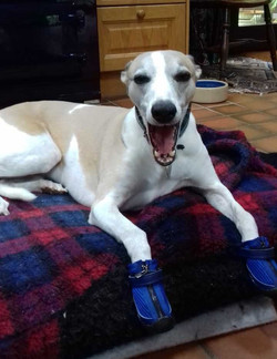 Whippet Hunnyboots in True Blue