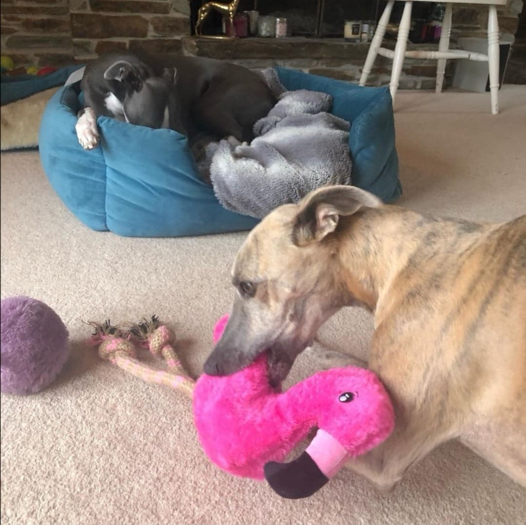 Pointy Faces Toys for Whippets