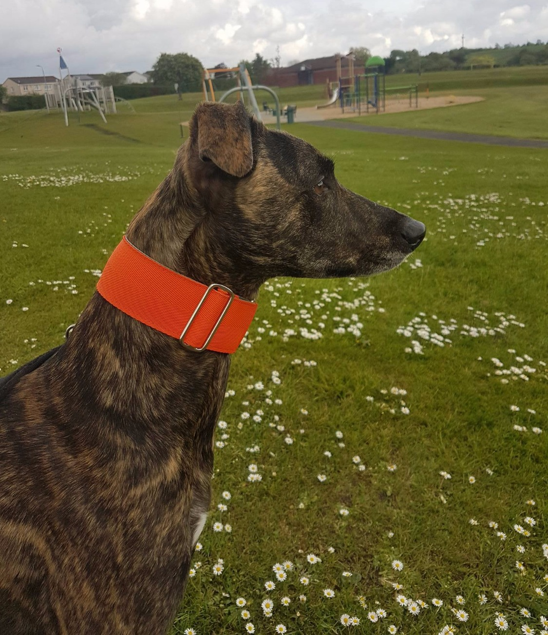 Pointy Faces Lurcher Collar