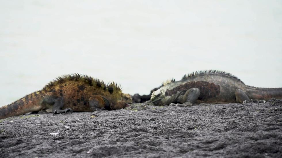 Marine iguanas fighting.mp4