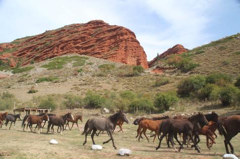 Paarden in Kirgizië.jpeg