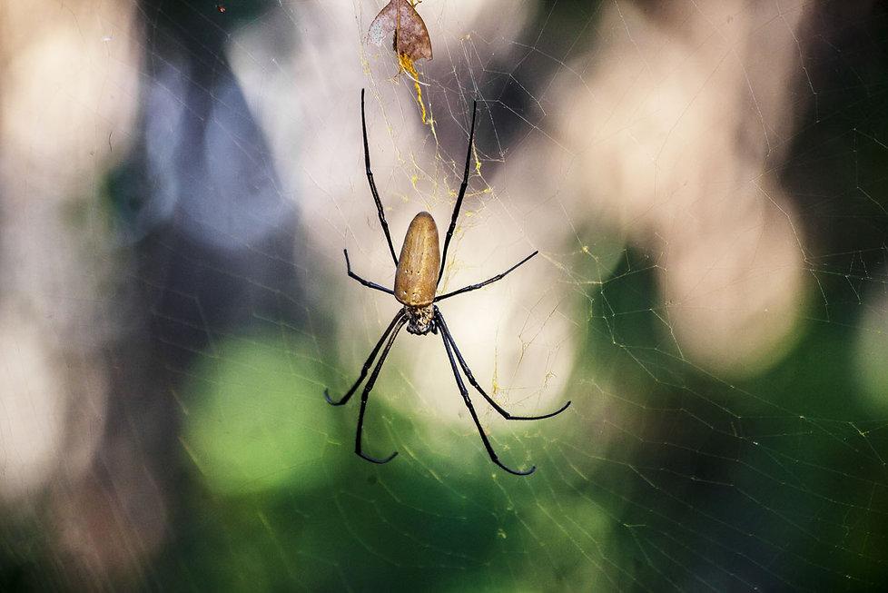 Indonésie, Ile de Komodo. araignée. Jacques Bravo