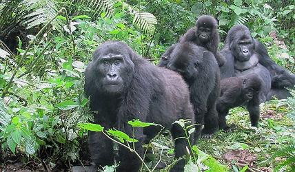 gorilles des montagnes, parc national de Bwindi