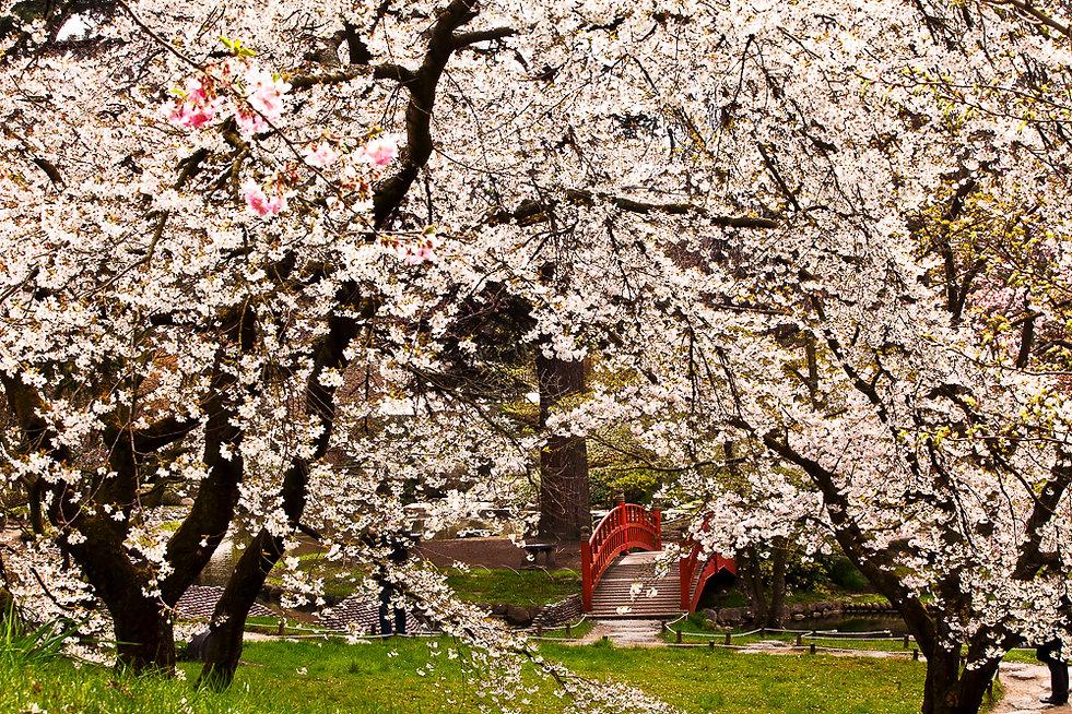 Jardin japonais avec le pont ( Jardin Albert Kahn )