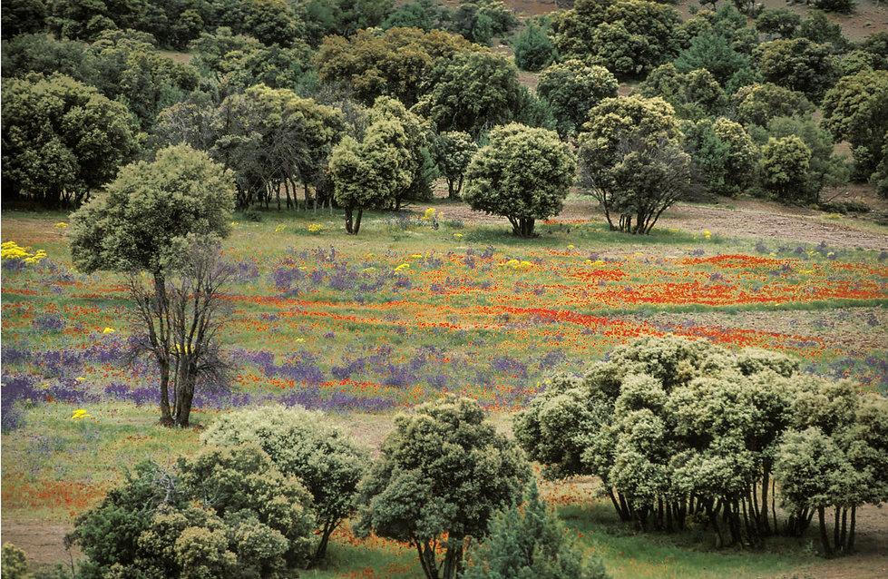 champs de fleurs dans le Haut-Atlas à Imilchil