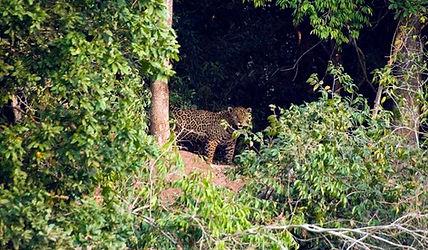 Jaguar du Pantanal dans la forêt