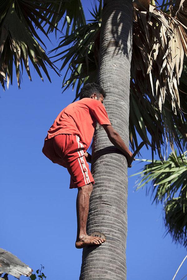 Ile de Savu, récolte palmier-Ile de Savu, Marché de Seba-Ile de Savu-Indonesie-Jacques Bravo