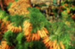 carottes taroudannt-2.jpg