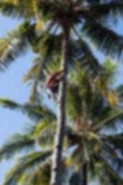récolte des noix de coco sur l'Ile de Besar, petites iles de la Sonde, Indonésie, Jacques Bravo