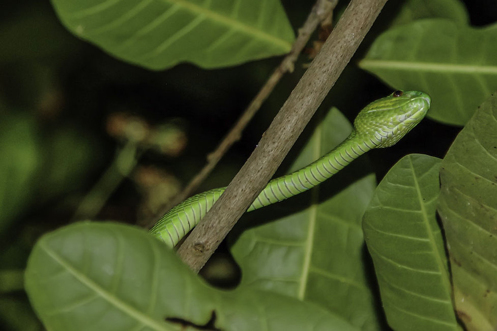 Paloe, Trimeresurus albolabris ou crotal