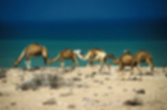 chameaux tarfaya-1.jpg