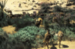 chameaux goulimine-8.jpg
