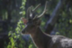 Indonésie, Ile de Komodo. cerf. Jacques Bravo
