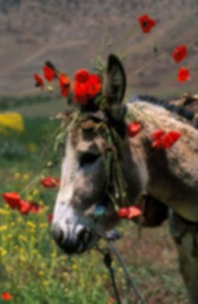 Un âne décoré avec des coquelicots dans la vallée