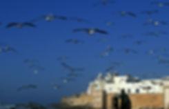 mouettes Essaouira, Maroc. Jacques Bravo