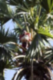 Ile de Savu, récolte palmier-Ile de Savu, Village megalithique-Ile de Savu-Indonesie-Jacques Bravo