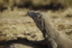 Indonésie, Ile de Komodo. Dragon de Komodo, Varan