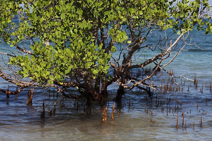 La mangrove sur l'Ile de Besar, petites iles de la Sonde, Indonésie, Jacques Bravo