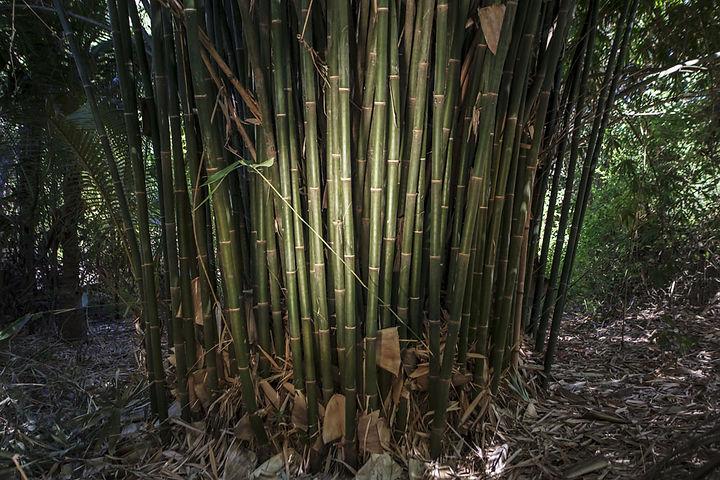 Bambous sur l'Ile de Besar, petites iles de la Sonde, Indonésie, Jacques Bravo