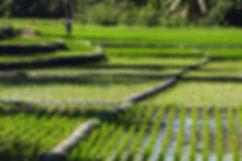 Ile de Savu, rizières-Ile de Savu-Indonesie-Jacques Bravo