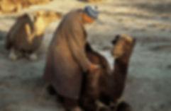 Toilettage d'un dromadaire à Imilchil pendant le Moussem