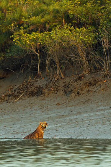 le tigre des Sundarbans