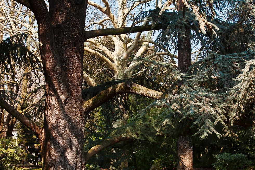 La forêt vosgienne ( Jardin Albert Kahn )