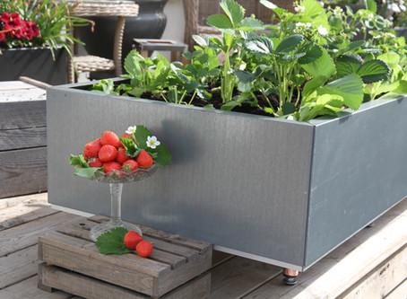 Sneglefri kasse for jordbær og salat