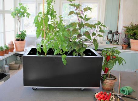 Slik dyrker du chili og tomat