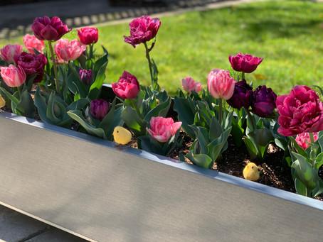Tulipaner til påske