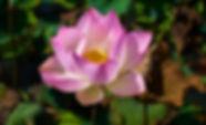 lotus-3047870_960_720.jpg.jpg