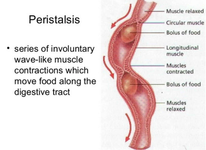 Image reference: https://healthjade.net/peristalsis/