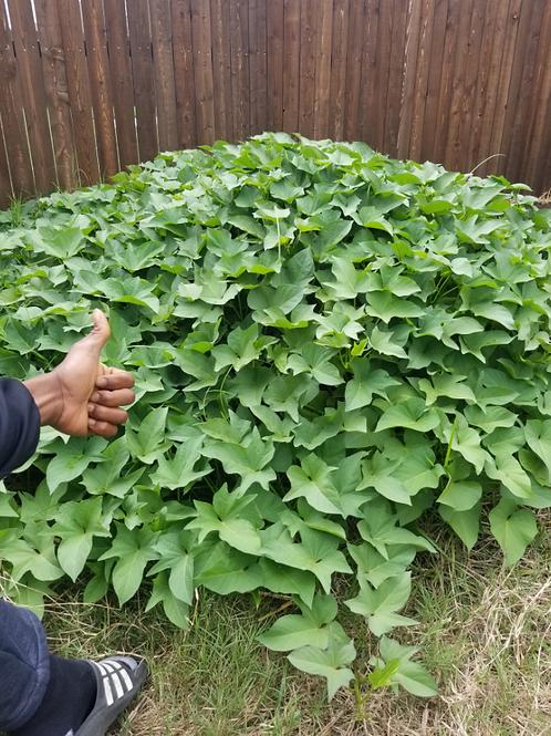 Okinawan Sweet Potato Cutting