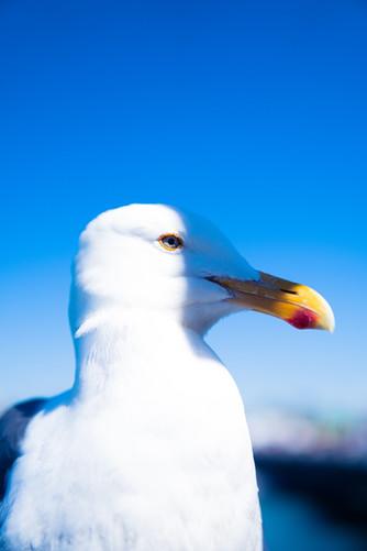 Seagull in California