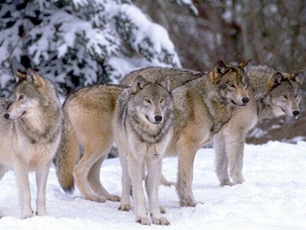 wolfpack.jpg