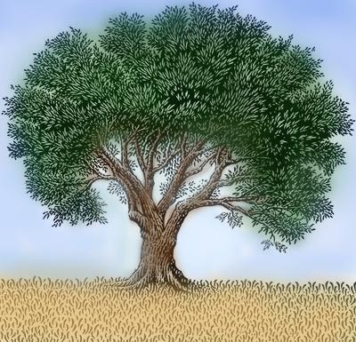 האחרון עצי זית למכירה | עץ זית למכירה CY-27