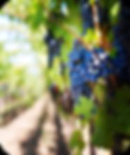 Grappe raisin rouge vin.png