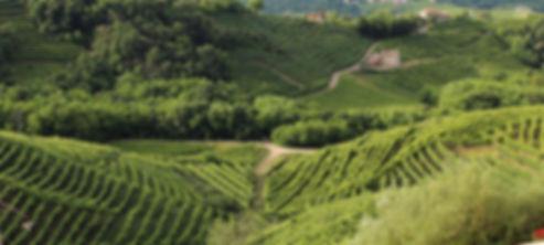 Italie Treviso vignoble 4.jpg