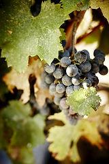 Domaine Gayda grappe raisin.jpg