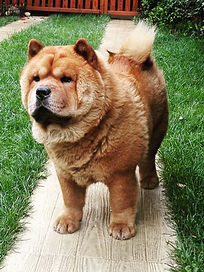 smooth chow chow