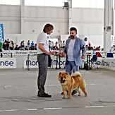 allevamenti chow chow lombardia