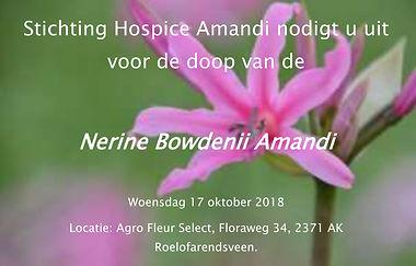 Nerine Bowdenii Amandi.jpg