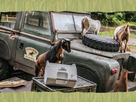 Nigerian Dwarf Goats Welcomed to Disney's Animal Kingdom as New Kids on the Safari