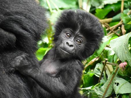 World Gorilla Day...